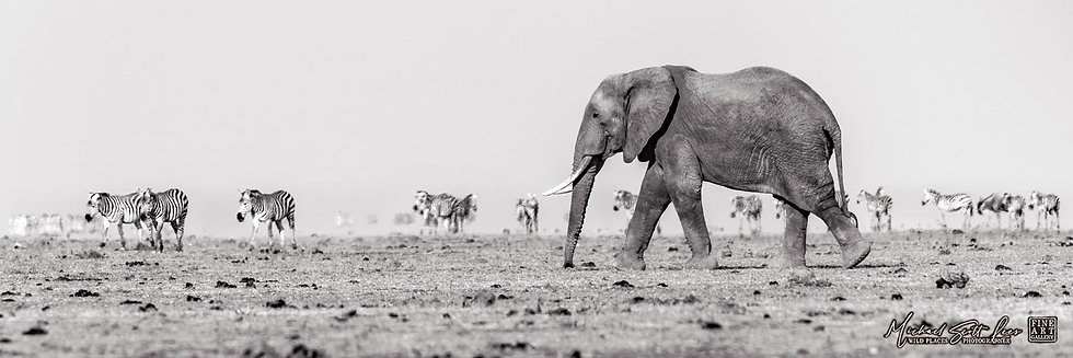 Elephant and Zebras crossing a dead lake in Amboseli National Park, Michael Scott Lees fine art photographic prints for sale