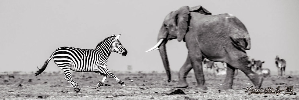 Frightened Elephant and Zebra crossing a dead lake in Amboseli National Park, Michael Scott Lees fine art photographic prints