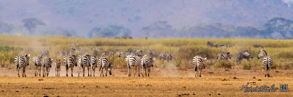Zebras in a heat wave at the edge of a dead lake in Amboseli National Park, Michael Scott Lees fine art photographic prints