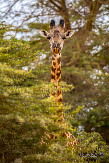Giraffe with Acacia trees in Kimana Sanctuary, Kenya, Michael Scott Lees fine art photographic prints for sale