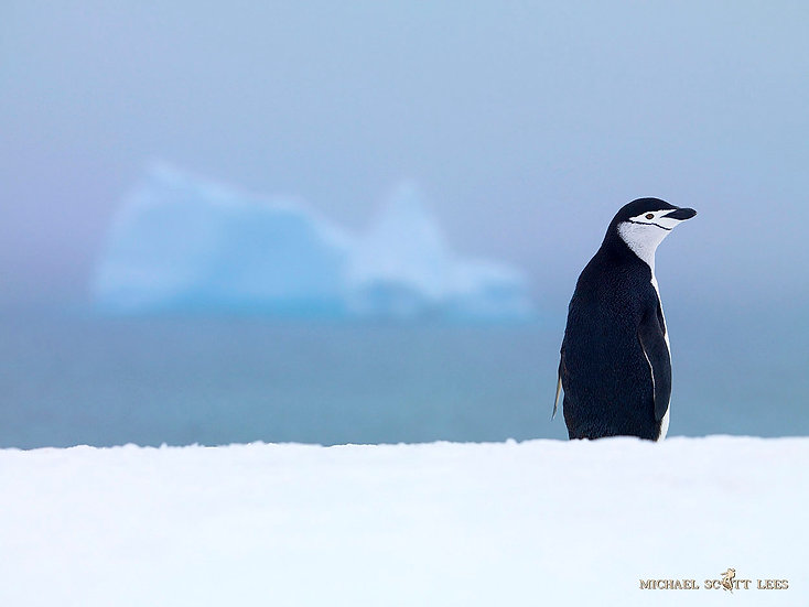 Chinstrap Penguins on one of the small South Shetland Islands, Antarctica. Fine Art Photography Prints for Sale by Michael Sc
