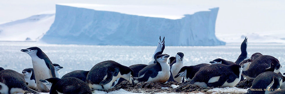 Chinstrap Penguin colony on Aitcho Island in the South Shetland Islands, Antarctica. Fine Art Photography Prints for Sale