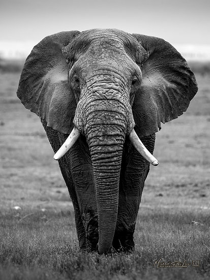 Elephant in Amboseli National Park, Michael Scott Lees fine art photographic prints for sale