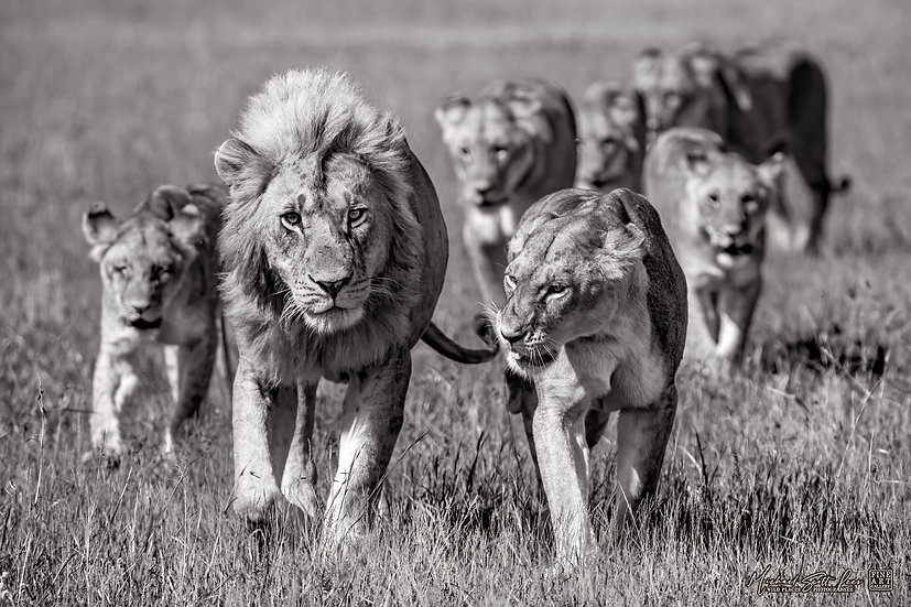 Pride of lions on the plains in Maasai Mara National Reserve, Michael Scott Lees fine art photographic prints for sale