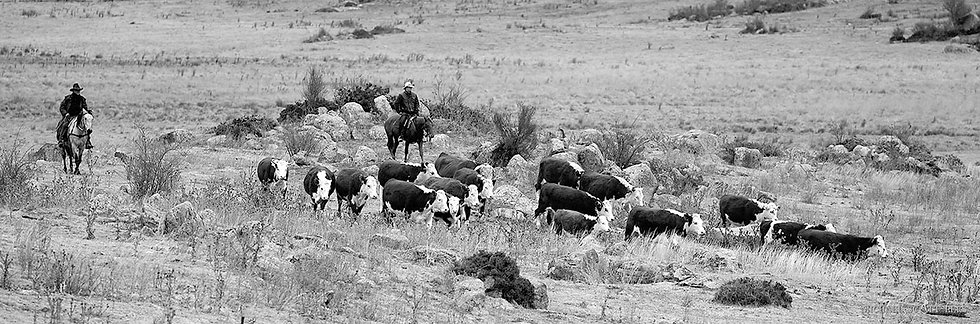Droving cattle down the Crackenback Valley, Crackenback, Australia. Fine Art Photography Prints for Sale