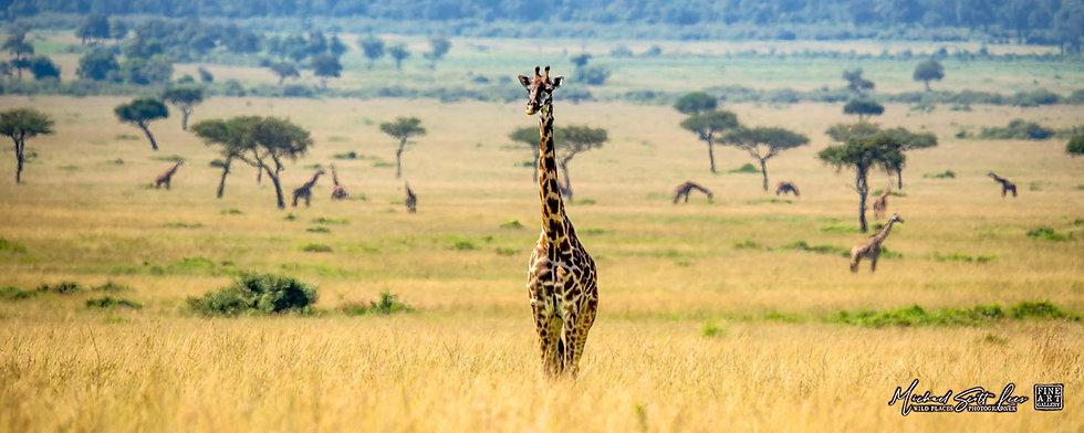 Giraffes on the plains in Maasai Mara National Reserve, Michael Scott Lees fine art photographic prints for sale