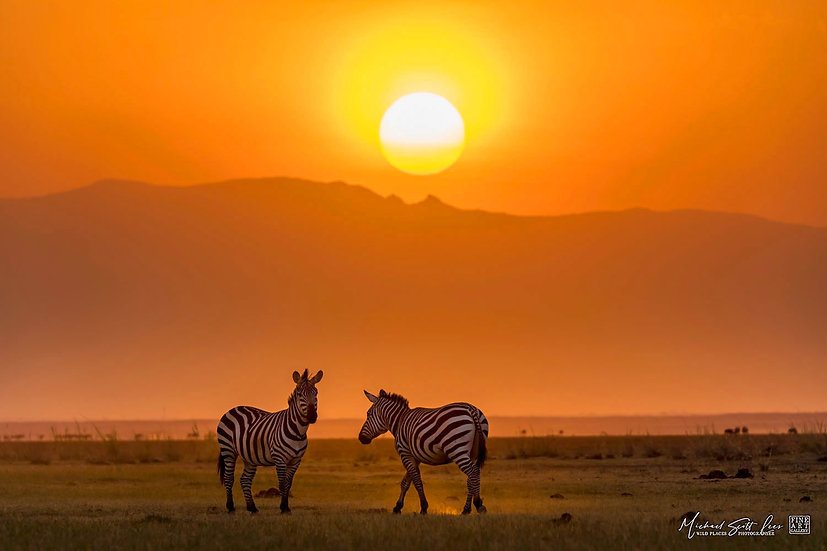 Zebras at sunset in Amboseli National Park, Michael Scott Lees fine art photographic prints for sale