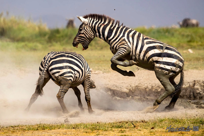Two zebras fighting on the edge of a dead lake in Amboseli National Park, Michael Scott Lees fine art photographic prints