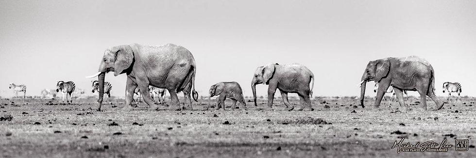 Elephants and Zebras crossing a dead lake in Amboseli National Park, Michael Scott Lees fine art photographic prints for sale