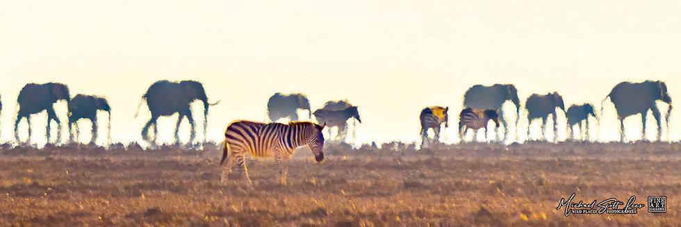 Zebra and Elephants crossing a dead lake in Amboseli National Park, Michael Scott Lees fine art photographic prints for sale