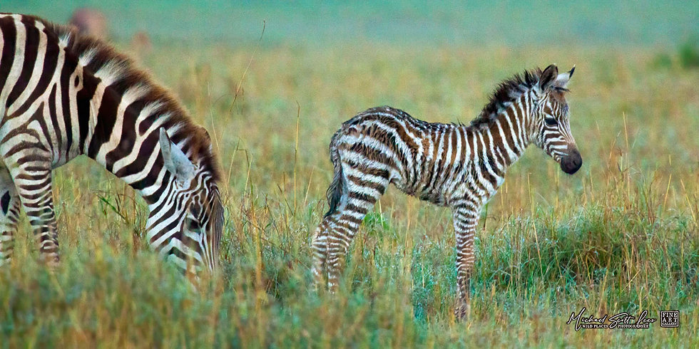 Mum and baby zebra in Maasai Mara National Reserve, Kenya, Michael Scott Lees fine art photographic prints for sale