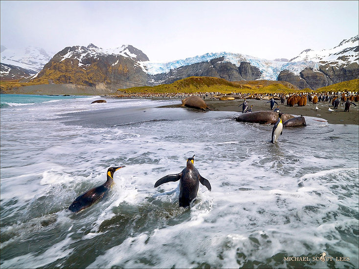 King Penguins coming out of the water on South Georgia Island, Antarctica. Fine Art Photography Prints for Sale by Michael Sc
