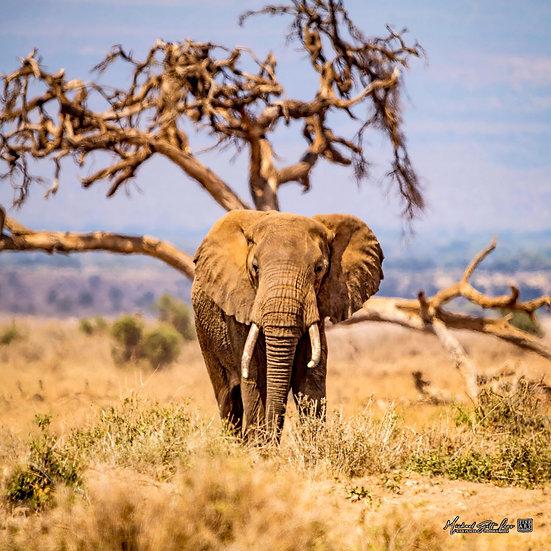 Bull elephant on the dry plains in Amboseli National Park in Kenya, Africa, Michael Scott Lees fine art photographic prints