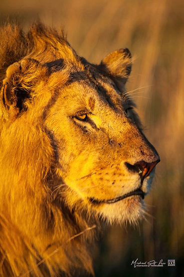 Portrait of a lions face in Maasai Mara National Reserve, Michael Scott Lees fine art photographic prints for sale