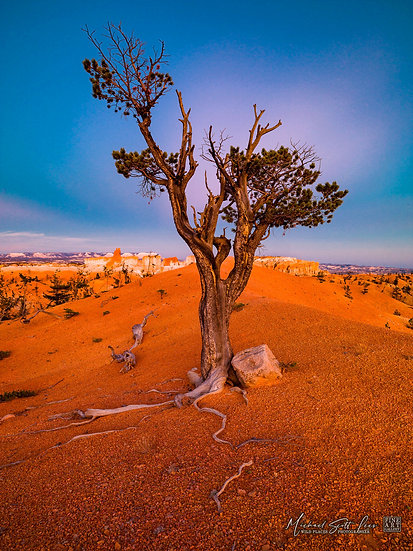 Old tree at dusk at Bryce Canyon National Park, America. Michael Scott Lees fine art photographic prints for sale