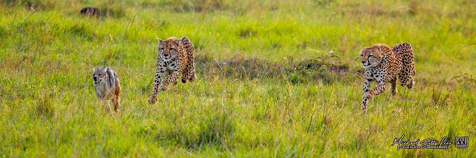 Cheetahs chasing a Jackal in Maasai Mara National Reserve, Michael Scott Lees fine art photographic prints for sale