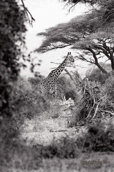 A giraffe amongst acacia trees in Amboseli National Park in Kenya, Africa, Michael Scott Lees fine art photographic prints