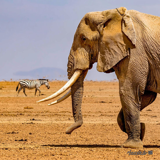 Elephant and zebra on a dead lake in Amboseli National Park, Michael Scott Lees fine art photographic prints for sale