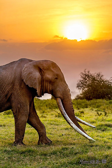 Tim the elephant with his giant tusks in Kimana Sanctuary, Kenya, Africa, Michael Scott Lees fine art photographic prints