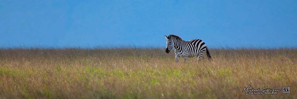 Zebra in the grasslands of Maasai Mara National Reserve, Kenya, Michael Scott Lees fine art photographic prints for sale