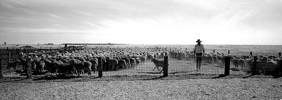 Yarding the sheep at Gunbar Station, Hillston, Australia. Fine Art Photography Prints for Sale by Michael Scott Lees photo