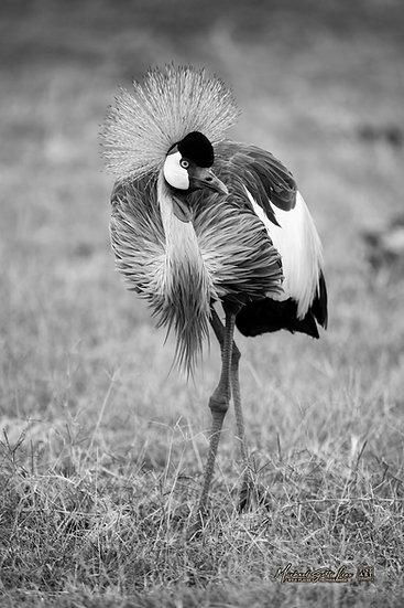 Amboseli National Park, Kenya - Code: AN7018SFAL