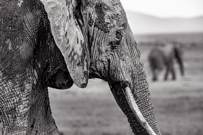 Elephant in Amboseli National Park, Kenya, Africa, Michael Scott Lees fine art photographic prints for sale