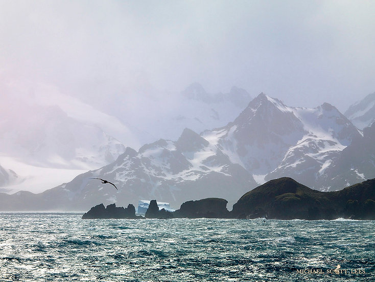 Cape Gull, flying at South Georgia Island, Antarctic. Fine Art Photography Prints for Sale by Michael Scott Lees photographer