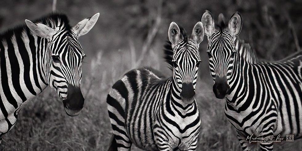 Zebras at dusk in Kimana Sanctuary, Kenya, Michael Scott Lees fine art photographic prints for sale