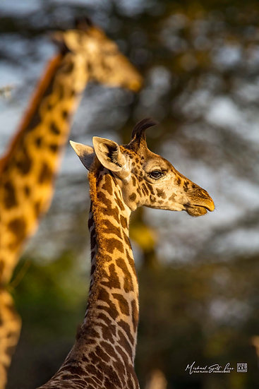 Juvenial and adult  Giraffe with Acacia trees in the back ground in Kimana Sanctuary, Kenya, Michael Scott Lees fine art