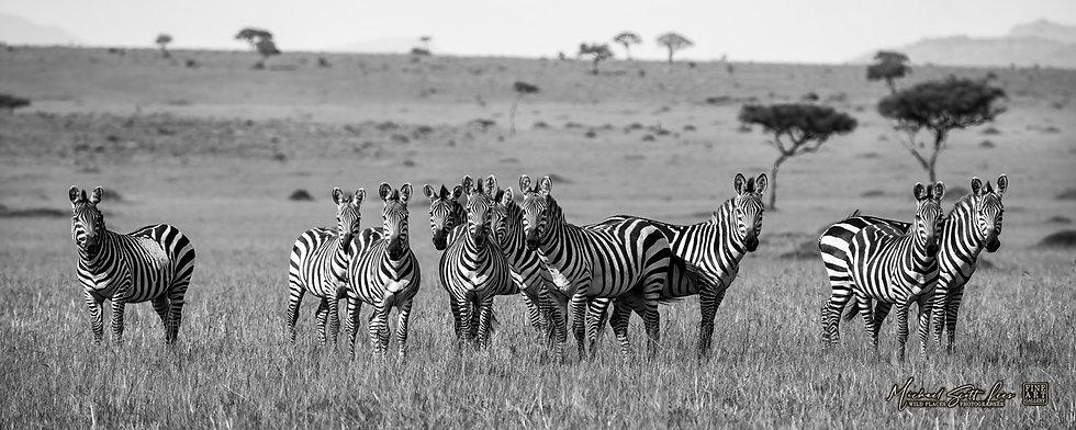 Zebras in Masai Mara National Reserve, Michael Scott Lees fine art photographic prints for sale