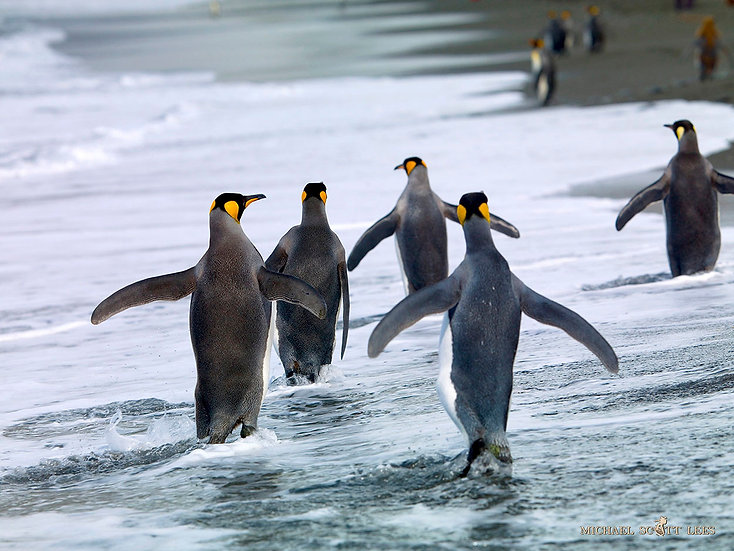 King Penguins on South Georgia Island near Antarctica. Fine Art Photography Prints for Sale by Michael Scott Lees photographe
