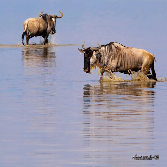Wildebeests walking across a shallow lake in Amboseli National Park in Kenya, Africa, Michael Scott Lees fine art photography