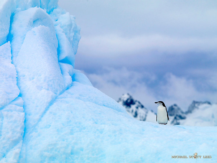 Chinstrap Penguins floating on a iceberg near South Shetland Islands, Antarctica. Fine Art Photography Prints for Sale by Mic