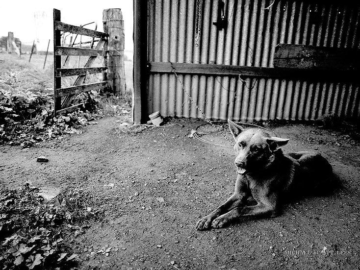 Bill the Kelpie dog, near Stockinbingal NSW, Australia. Fine Art Photography Prints for Sale by Michael Scott Lees photograph