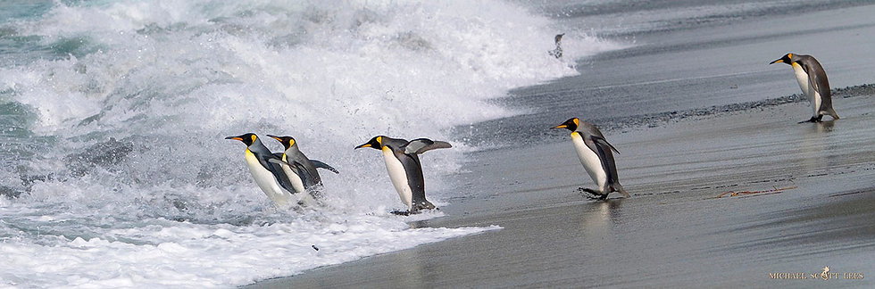 King Penguins on South Georgia Island near Antarctica. Fine Art Photography Prints for Sale by Michael Scott Lees photograph