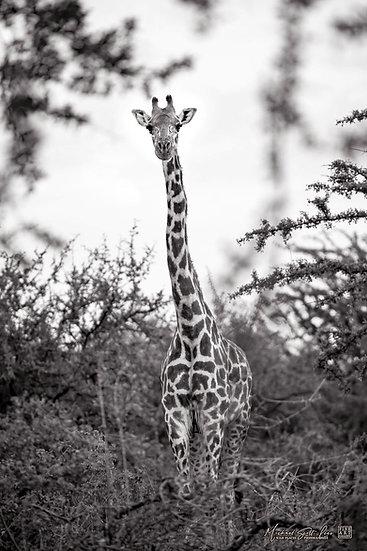 Giraffe in amongst acacia trees at Tsavo West National Park, Kenya, Africa, Michael Scott Lees fine art photographic prints