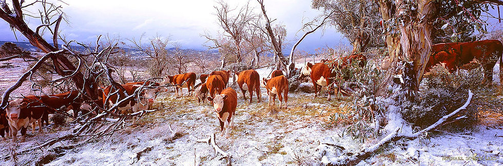 Cows in snow, Jindabyne, Snowy Mountains, Australia. Fine Art Photography Prints for Sale by Michael Scott Lees photographer.