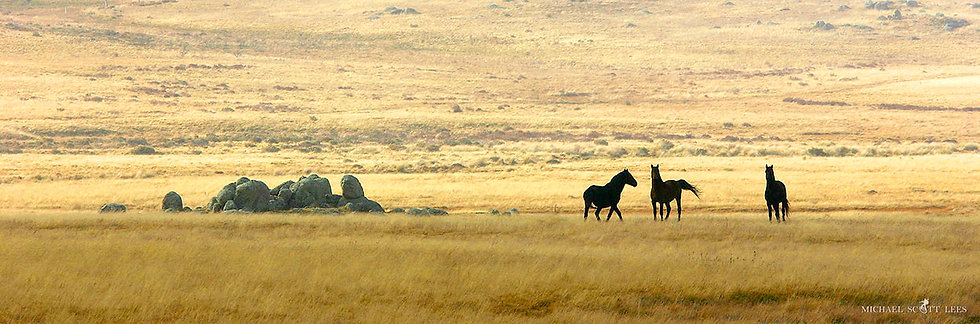 Three Brumbies in the Kosciuszko National Park, Australia. Fine Art Photography Prints for Sale by Michael Scott Lees photo