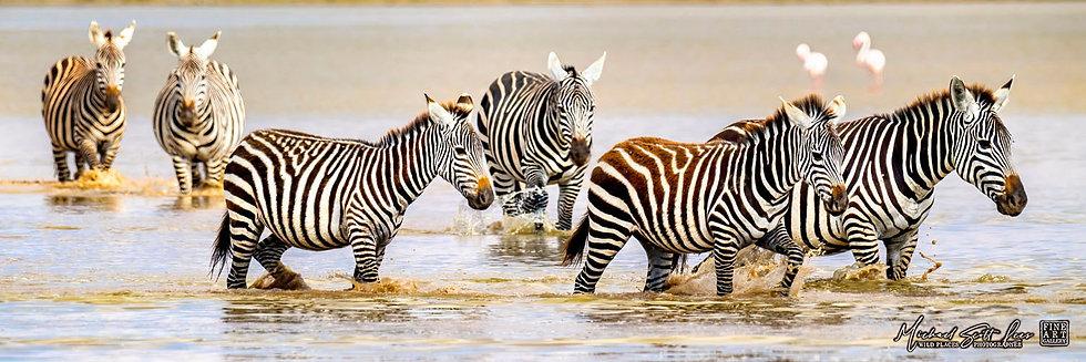 Zebras walking through water at Amboseli National Park, Kenya, Michael Scott Lees fine art photographic prints for sale
