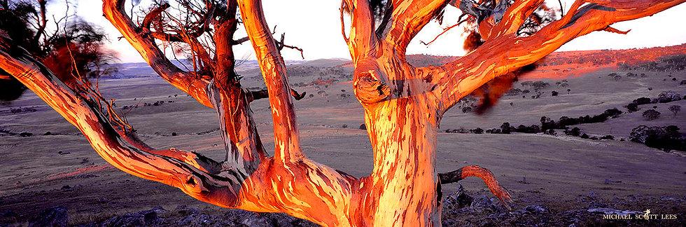 Gum Tree near Bungendore, Australia. Fine Art Photography Prints for Sale by Michael Scott Lees photographer.