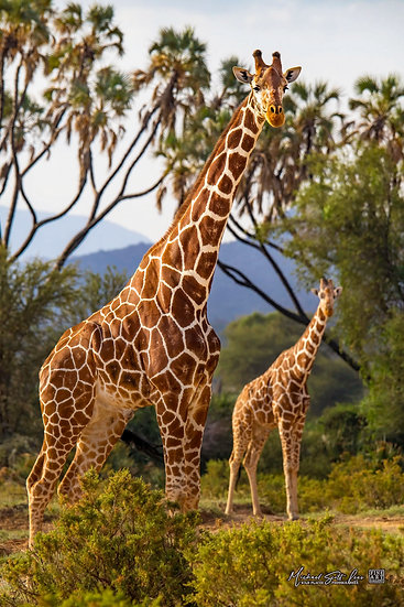 Two Giraffe in Samburu National Park, Kenya, Africa, Michael Scott Lees fine art photographic prints for sale