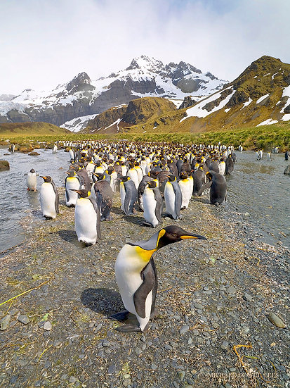 King Penguins at Gold Harbour on South Georgia Island near Antarctic. Fine Art Photography Prints for Sale by Michael Scott L