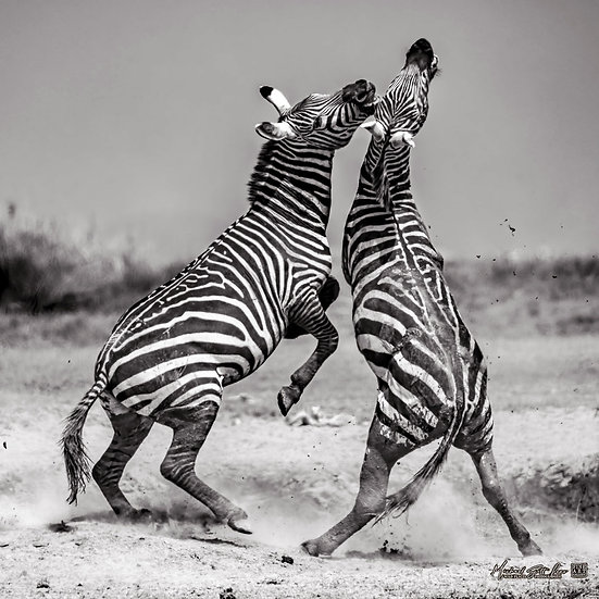 Zebras fighting on a dead lake in Amboseli National Park, Michael Scott Lees fine art photographic prints for sale