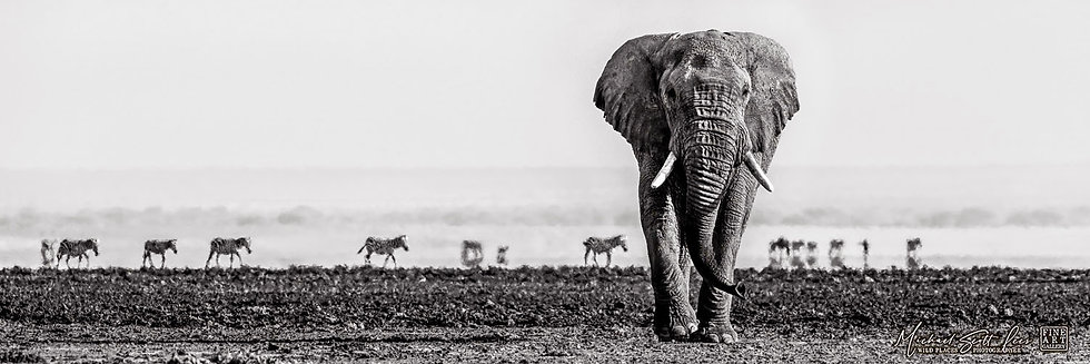 Zebras and an elephant on a dead lake in Amboseli National Park, Michael Scott Lees fine art photographic prints for sale