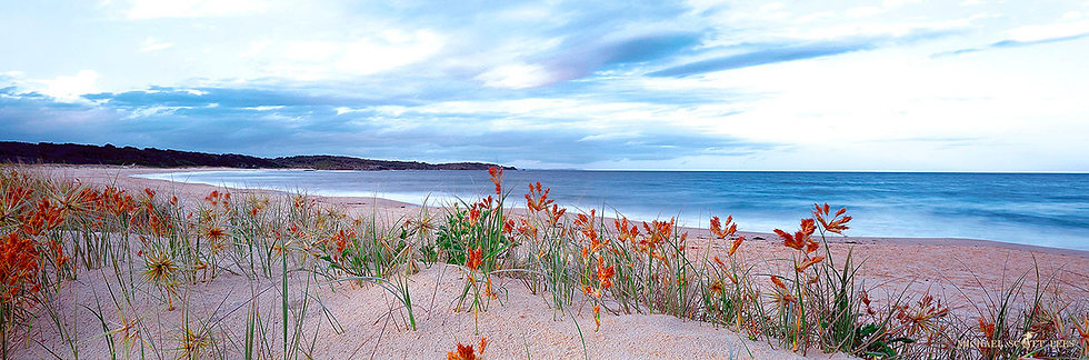 Dune grass at the beach at Tuross Head, Australia. Fine Art Photography Prints for Sale by Michael Scott Lees photographer.