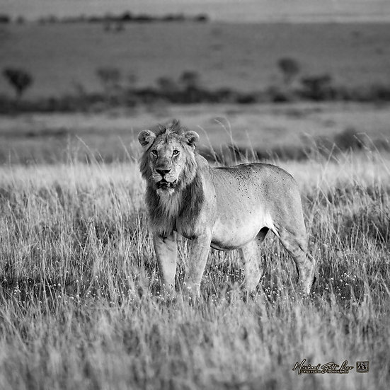 Lion in Masai Mara National Reserve, Michael Scott Lees fine art photographic prints for sale
