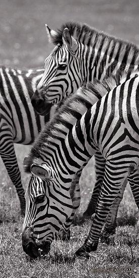 Zebras grassing in background in Masai Mara National Reserve in Kenya, Africa, Michael Scott Lees fine art photographic print