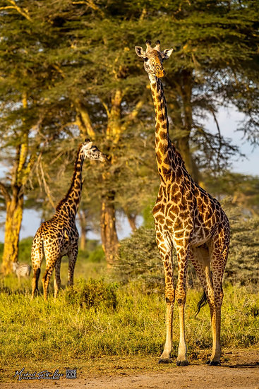 Two Giraffe with Acacia trees in the background in Kimana Sanctuary, Kenya, Michael Scott Lees fine art photographic prints