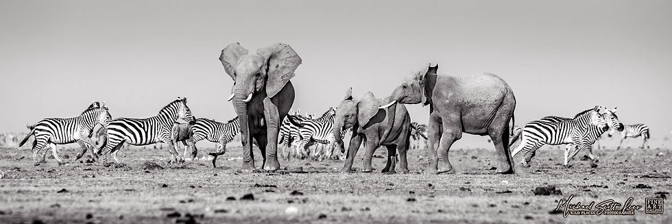 Frightened Elephants and Zebras crossing a dead lake in Amboseli National Park, Michael Scott Lees fine art photography